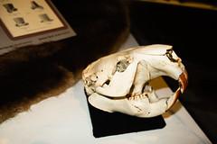 Beaver skull (quinet) Tags: 2019 antiquitäten biber britishcolumbia canada kelowna kelownaheritagemuseum schädel antiques antiquités beaver castor crâne skull yale