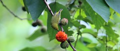 Paper mulberry & Oriental White-eye (khoitran1957) Tags: tree bird travel vietnam wildlife nature 219 ultrawide widescreen wallpaper wide daylight green red
