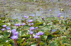 Purple Water Lilies (peterkelly) Tags: digital canon 6d asia southeastasia indochinaencompassed gadventures vietnam hoian bicycletour waterlilies flowers purple pond water