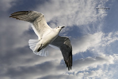 Laughing gull (Mike_FL) Tags: nikon nikond7500 nature tamron100400 hauloverpark gull bird
