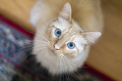 Those Eyes (vtom61) Tags: cat flamepointsiamese blueeyes sonya7riii sonyzeissfe55mm18 bokeh siamese