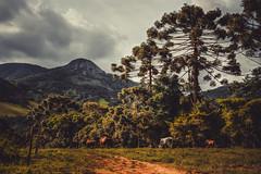 Gonçalves (rvcroffi) Tags: gonçalves minasgerais paisagem vegetação natureza pasto boi araucaria montanha nature landscape fazenda farm