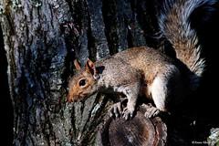 Eastern Gray Squirrel (Anne Ahearne) Tags: wild animal nature wildlife gray grey squirrel cute easterngraysquirrel closeup tree