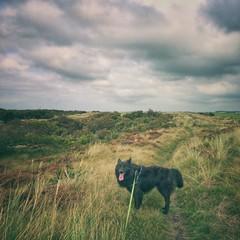 Totoro 🐺 (Jos Mecklenfeld) Tags: hiking wandern wandelen dunes dünen duinen callantsoog noordholland niederlande netherlands nederland hond dog herdershond herder shepherd shepherddog hollandseherder dutchshepherd totoro