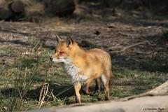 Renard roux_RON (Passion Animaux & Photos) Tags: renard roux red fox parc animalier saintecroix france
