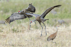 Preparing to touch down... (danielusescanon) Tags: sandhillcrane antigonecanadensis gruiformes gruidae flying landing creamersfield fairbanks alaska