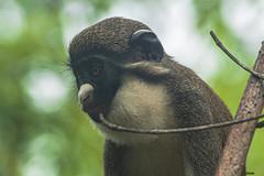 CIRCOPITECO NASO BIANCO    ----    EXPLORE (cune1) Tags: animali animals alberi trees acqua water fiume river foresta forest natura nature africa sanpedroarea