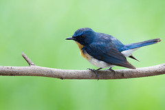 Tickell's Blue Flycatcher (Rajiv Lather) Tags: cyornistickelliae blueflycatcher india indian birds aves avian avifauna birding birdwatching birder forest trees outside nature wildlife image pics photo photograph branch colors light tickell perch muscicapidae vögel vogelstand outdoors flycatchers bluebird jungle glint white blue green picture
