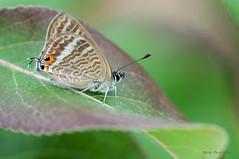 Lampides boeticus (Linnaeus, 1767) (ajmtster) Tags: macrofotografía macro insectos mariposas lepidopteros lycaenidae licenidos lampidesboeticus lampides boeticus butterfly butterflies papillon farfalle amt reverso