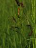 Carex viridula (aniko e) Tags: carex cyperaceae carexviridula sedge littlegreensedge spätegelbsegge iszapsás lukasalm rottachegern bavaria bayern germany summer hiking