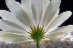 Aura (Michael Schönborn) Tags: nx500 nx50200f456 samsung focusstacking stacked flower blossom light shadow aura macro makro closeup studio white