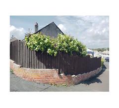 grapevine-festooned garden fence (chrisinplymouth) Tags: fence grapevine gardenwall plymstock trait plymouth plant devon england grape uk city xg cw69x urbio cameo