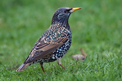 a proud Starling (Franck Zumella) Tags: bird starling oiseau etourneau sansonnet blue red orange green yellow feather colored coloré black nature animal noir wildlife grass herbe vert sol gound proud fier