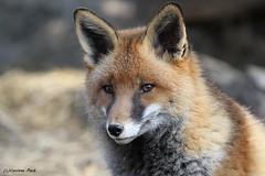 Renard roux_CHORIZO (Passion Animaux & Photos) Tags: renard roux red fox parc animalier saintecroix france
