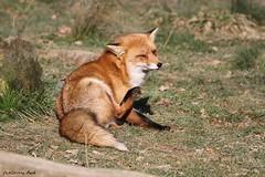 Renard roux_MULDER (Passion Animaux & Photos) Tags: renard roux red fox parc animalier saintecroix france