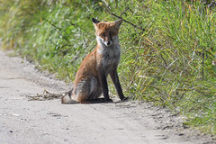 Rød ræv, Red fox, Rotfuchs (Vulpes vulpes) (Kenneth Gerlach) Tags: vulpesvulpes fall flowersplants fox fuchs landscape mammal pattedyr predator redfox rotfuchs ræv rødræv wildlife
