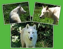 Polarwolf / Arctic wolf (ursula.valtiner) Tags: natur nature tier animal arcticwolf polarwolf wildpark wildlifepark derwildeberg mautern steiermark styria austria autriche österreich