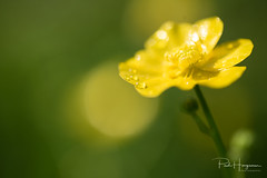 Buttercup (PaulHoo) Tags: macro closeup detail sun nature dof bokeh alphen aan den rijn holland netherlands buttercup flower flora yellow little