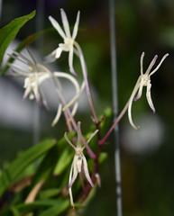 Vanda falcata, Flecker Botanic Garden, Cairns, QLD, 28/09/19 (Russell Cumming) Tags: plant orchidaceae fleckerbotanicgarden cairnsbotanicgarden cairns queensland vanda vandafalcata