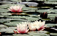 Floating (Kevin Pendragon) Tags: flora flowers pink leaves pads green water pond glastonbury somerset sun sunshine heat hot weather nature naturephotography outdoors outside near far blooming haze life