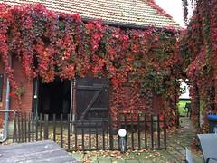 Ein bunter Vorhang (julia_HalleFotoFan) Tags: parthenocissusquinquefolia jungfernrebe wilderwein haus bischofroda wartburgkreis thüringen