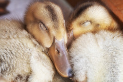 Nap Time (jasohill) Tags: fowl color cute nature baby city goose iwate adventure snuggling hachimantai bird life water animals precious yellow japan photography