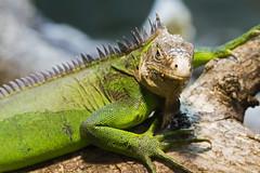 Mexican spinytail iguana (Ctenosaura pectinata) - Paignton Zoo, Devon - Sept 2019 (Dis da fi we) Tags: paignton zoo devon ctenosaura pectinata spinytail iguana mexican