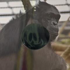 Joko s'ennuie (andrefromont) Tags: andréfromont andrefromontfernandomort fernandomort andrefromont gori gorille gorilla joko animal zoo ennui boredom
