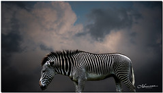 JULY 2019 NGM_2347_8929-2-222 (Nick and Karen Munroe) Tags: zebra zebras torontozoo zoo animal animals clouds cloudy cloudcover karenick23 karenick karenandnickmunroe karenandnick munroe karenmunroe karen nickandkaren nickandkarenmunroe nick nickmunroe munroenick munroedesigns photography munroephotoghrpahy munroedesignsphotography nature landscape brampton bramptonontario ontario ontariocanada outdoors canada d750 nikond750 nikon nikon2470f28 2470 2470f28 nikon2470 nikonf28 f28 colour colours color colors
