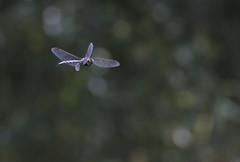 Aeshna juncea (www.sariliimatta.net) Tags: aeshnajuncea siniukonkorento ukonkorennot commonhawker moorlandhawker sedgedarner hawkerdragonflies hawker hawkers sudenkorennot sudenkorento dragonflies dragonfly dragonflylove ilovedragonflies odonata aeshnidae aeshna luontokuvaus lappeenranta finland suomenluonto finnishnature
