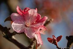 Fall....or spring?..... (Joe Hengel) Tags: fallorspring fall flower flowers lowerslowerdelaware lewesde lewes lsd de delaware tree treebranch bokeh sussexcounty cherryblossoms cherrytree pinkflowers