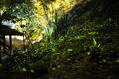 (Ψ A Chia) Tags: taiwan chiayi firefly 螢火蟲 嘉義