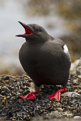 Black Guillemot (JaneTurner68) Tags: blackguillemot guillemot seabird bird oban argyll scottishhighlands scotland canon1dmkiv canon100400mmmkiilens canon