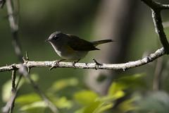 (The Transit Photographer) Tags: rideautrail trailhead marshlandsconservationarea birds warblers americanredstart female