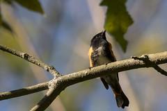 (The Transit Photographer) Tags: rideautrail trailhead marshlandsconservationarea birds warblers americanredstart male