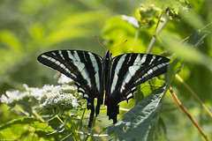 Butterfly 2019-147 (michaelramsdell1967) Tags: butterfly butterflies nature macro animal animals insect insects green black white meadow beauty beautiful pretty lovely vivid vibrant detail delicate fragile leaves bug bugs upclose closeup zebra swallowtail wings zen