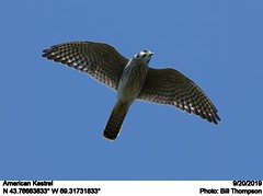 American Kestrel (Bill.Thompson) Tags: americankestrel falcosparverius me birds