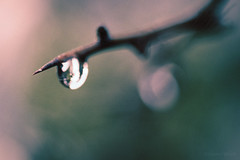 * (shawn~white) Tags: ©shawnwhite turquoise pink teal alteredstate conviction dreamy enchanting mystical trippy tree hawthorn water droplet grain filmlook closeup macro fujifilmxt2 xf60mmf24macro