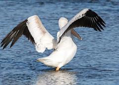 Pelican (Ed Sivon) Tags: america american canon nature lasvegas water wildlife western wild white southwest desert clarkcounty vegas flickr bird henderson nevada pelican