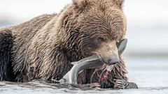 ... sashimi ... (Grandpops Woodlice) Tags: alaska bear coastalbrownbear cookinlet gulfofalaska salmon silversalmoncreek lakeclarknationalpark