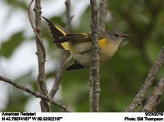 American Redstart (Bill.Thompson) Tags: americanredstart setophagaruticilla female me birds