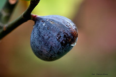 Fig tree in my garden (Patricia Buddelflink) Tags: fig tree garden fruit nature autumn