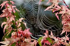 Wonderful autumn (Patricia Buddelflink) Tags: autumn nature garden spider web japanese maple morning dew