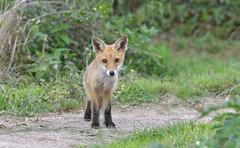 """The Eyes Have It"" (KHR Images) Tags: redfox red fox vulpesvulpes wild mammal cub juvenile youngster fendraytonlakes cambridgeshire rspb wildlife nature nikon d500 kevinrobson khrimages"