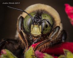 Carprnter Bee Pollinating (strjustin) Tags: carpenterbee beautiful bug bee insect macro mpe eyes flowers