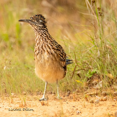 Roadrunner (Lindell Dillon) Tags: greaterroadrunner cuckoo bird birding nature oklahoma crosstimbers fall wildoklahoma
