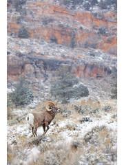 Big Horn Ram (DTT67) Tags: ram 1dxmkii canon bighornsheep grandtetons mountains animal mammal nature wildlife