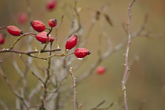 Rose hips. (Filip Kudela) Tags: rose hip nature red morning drop outdoor canoneosm100 canon efm 55200mm eos