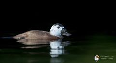 White-headed Duck (Simon Stobart) Tags: whiteheaded duck oxyura leucocephala water swimming
