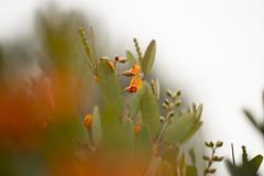 (louisa_catlover) Tags: royalbotanicgardenscranbourne australiangarden cranbourne melbourne victoria australia garden nature outdoor plant native australian bokeh dof flowers orange pea legume fabaceae